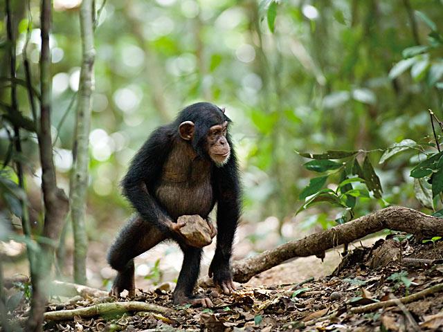 Schimpansen (Film)